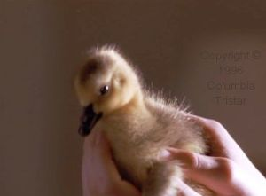One of several cute chicks in 'Fly Away Home'