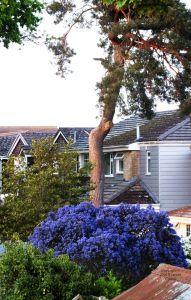 Blue bush, April 2020