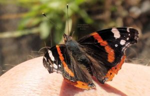 Red Admiral butterfly in July 2020