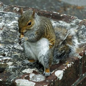 Grey squirrel in Christchurch, Dorset, England, in July 2020