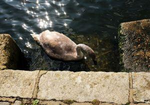 Swan at Christchurch quay, Dorset, England,