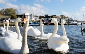 Swans at the quay, Christchurch, Dorset
