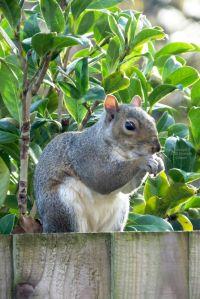 Squirrel in England, December 2020