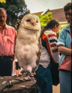 Owl in Christchurch, Dorset, August 1993