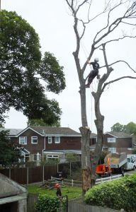 Sawing down a dead tree